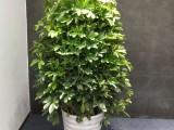 摇钱树绿植花卉盆景-苏州花卉绿植盆景苗圃养殖基地销售配送