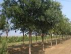 黄山20公分大叶女贞一亩地种植多少棵