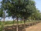 吉林长年超低价格急售18公分法桐树 全国优