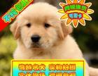 实体狗场可签协议 纯种金毛幼犬可看狗父母