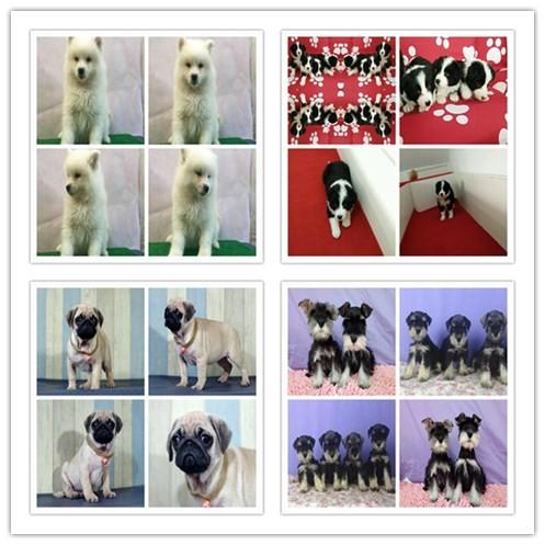 纯度第一 品质第一 价位最低 各国名犬出售 健康质保