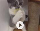 領养小貓(英短小母)