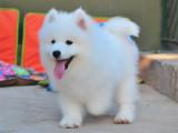 上海嘉定纯种萨摩耶幼犬怎么买