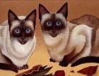 自家猫舍繁殖暹罗猫