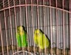 出售黄色虎皮成年母鸟 有公鸟就可以繁殖