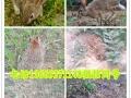 野兔思麻兔 德国巨兔 巨型花明兔 獭兔苗 伊普吕兔 比利时兔