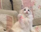 大连哪里有卖布偶猫,两个半月布偶猫多少钱一条
