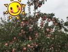 临猗红富士水晶苹果 招代理