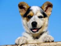 光明柯基犬出售 光明三个月纯正柯基幼犬价格 专业售后