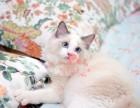 厦门哪里卖布偶猫 布偶猫价格 布偶猫哪里有卖