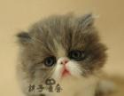 波斯猫体格健壮、有力,躯体线条简洁流畅