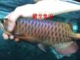 观赏鱼高端印尼龙鱼/红龙鱼/金龙鱼专卖