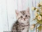 上海猫舍出售 金吉拉猫 加菲猫 美短加白 蓝猫渐层