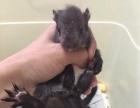 飞鼠龙猫,迷你刺猬,蜜袋鼯,雪地魔王松鼠