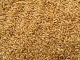 大量求购小麦