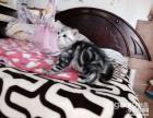 物语皇家猫美国短毛猫银虎斑妹妹