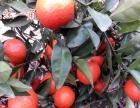 湖南常德市供应柑橘新品种世纪红、w默科特、冰糖橙苗