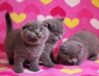 蓝白,蓝猫,加菲,渐层,布偶等各种宠物猫有售,包健康