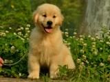 犬舍繁殖 有问题包退换 签协议保健康 极品金毛