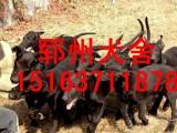 襄樊优质黑狼犬价格黑狼犬图片