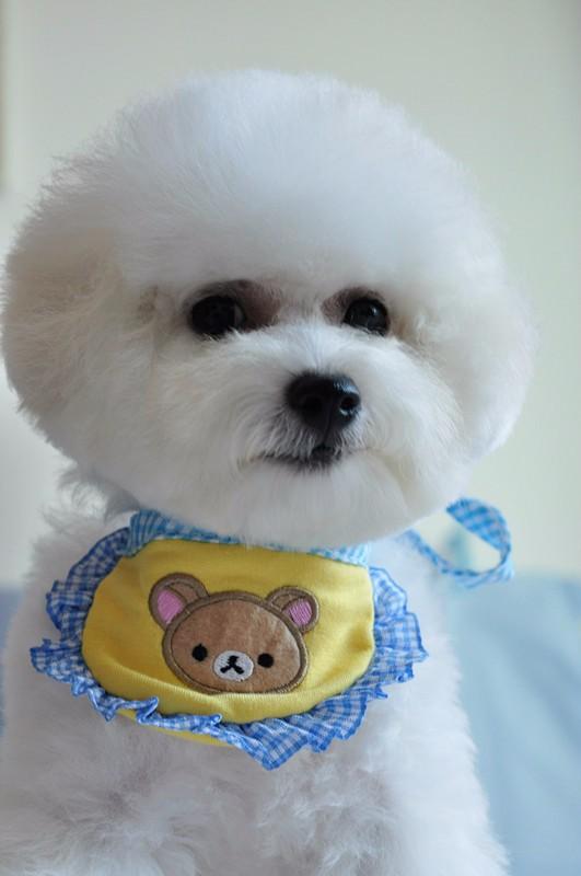 锦州什么地方有狗场卖宠物狗/锦州哪里有卖比熊犬