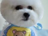 运城什么地方有狗场卖宠物狗/运城哪里有卖比熊犬