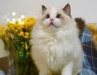 猫舍部分布偶猫展示 《只供鉴赏非出售》!小猫预售