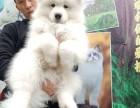 犬舍繁殖萨摩耶宝宝出售,急,价不高要的快来!
