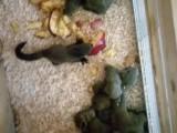 出售寵物松鼠魔王松鼠雪地松鼠黃山金花睡鼠