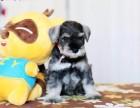 三亚纯种雪纳瑞价格 三亚哪里能买到纯种雪纳瑞犬