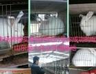杂交野兔种兔供应商/诚信商