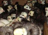火鸡苗贝蒂娜火鸡苗火鸡养殖军曼火鸡包回收