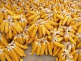 大量收購玉米 2017年新玉米大量收購 新玉米