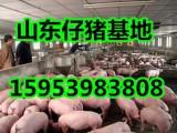 仔猪批发价格山东仔猪价格今日仔猪收购价格