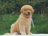 纯种的金毛犬多少钱 宠物店的狗靠谱吗