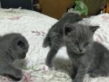 折耳猫小猫咪