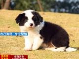 出售纯种边境牧羊犬 保健康