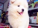 冠军级直系萨摩耶丨天使之子萨摩丨高品质萨摩幼犬