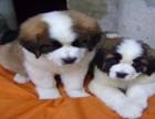 信誉服务 高端品质保障 纯种圣伯纳犬 常年有货