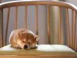 太原出售日本柴犬纯种幼犬活体宠物狗狗家庭犬小型犬黑色