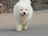 贵阳出售 纯种萨摩耶幼犬,包犬温细小,签订纯种健康
