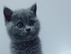 宠物猫纯种,网红猫明星猫好打理,有优惠