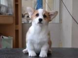 出售纯种威尔士柯基幼犬 赛级黄白双色宠物狗