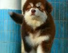 本地出售巨型熊版阿拉斯加 颜色均有可上门挑选