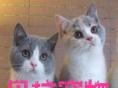 出售精品加菲猫,蓝猫,折耳猫,暹罗猫,美短各种名猫