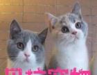 【贝拉宠物】出售精品金吉拉猫加菲猫蓝猫折耳猫豹猫