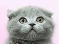 自家繁殖品质保障,纯种布偶加菲蓝白蓝猫英短美短金吉拉