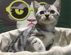 哪里出售纯种美国虎斑短毛猫纯种美国虎斑短毛猫多少钱一只