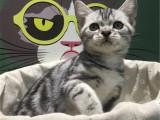 北京丰台美短标斑幼猫一般多少钱