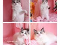 高品质血统纯种精品(布偶貓)多只幼猫待售